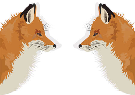 sly: Fox on white background reflected Vector illustration
