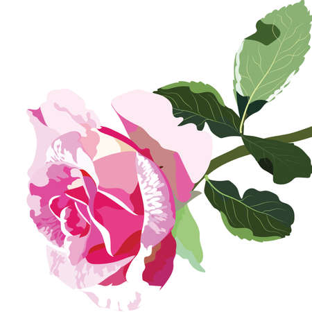 rosebuds: Delicate Pink Rose isolated. rosebuds flower blossom for background greeting cards, wedding, birthday, Valentines Day, Mothers Day Illustration