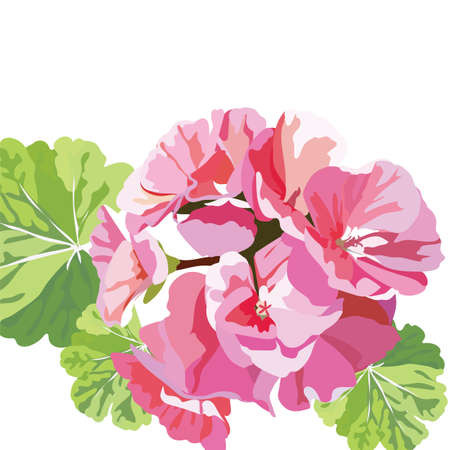 Delicate Pink geranium flowers isolated.  bouquet blossom for background greeting cards, wedding, birthday, Valentines Day, Mothers Day