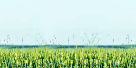 crop margin: Green Wheat ears at Springtime background illustration