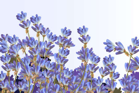 Lavender on white background. Vector detailed realistic flowers