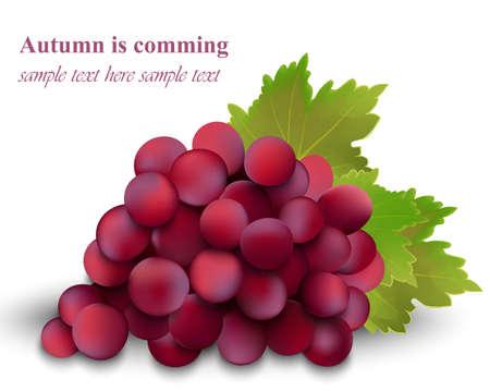 Autumn red cardinal grapes