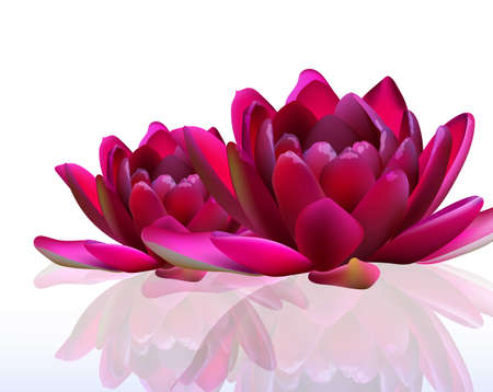 Water lily flowers isolated on white Vector illustration