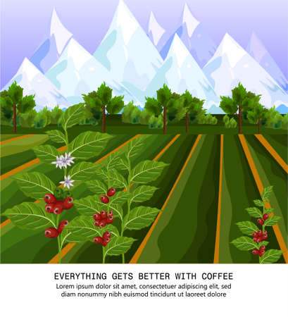 Coffee beans growing in farm. harvest fields Vector illustrations