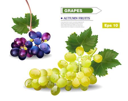 Grapes vine Vector realistic template. Autumn harvest fruits Ilustração