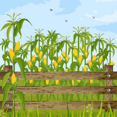 Corn field growing Vector. Maize background summer season