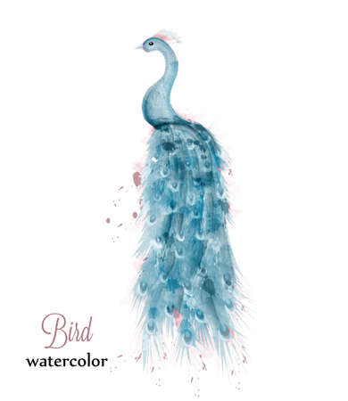 Blue peacock watercolor Vector. Blue colorful bird illustration painted style