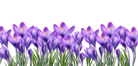 Crocus flowers background Vector watercolor. Botanical floral banner isolated. Spring season template Ilustrace