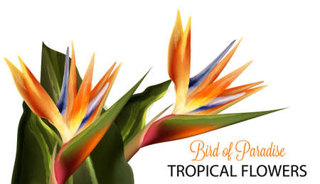 Bird of paradise flower Vector watercolor isolated on whites