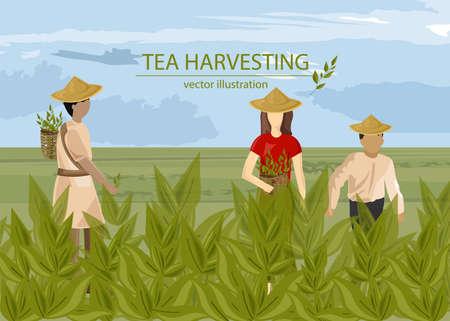Asian people harvesting tea with basket Vector Illustration