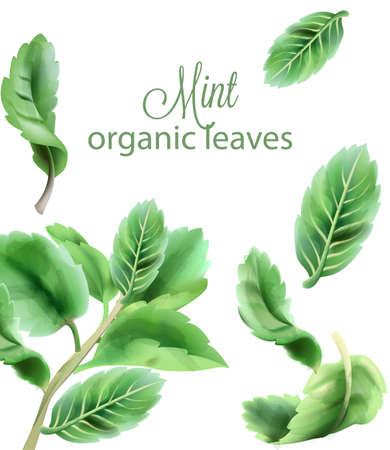 Organic green mint leaves Vettoriali
