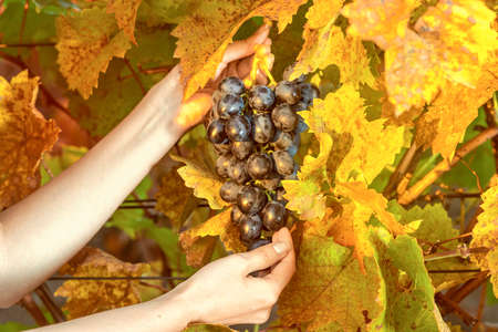 woman hands collecting grapes from the vineyard. Vintage retro style photo close up