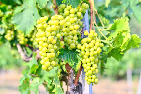 Grapes growing in the vine yard. Fresh sweet harvest in Autumns