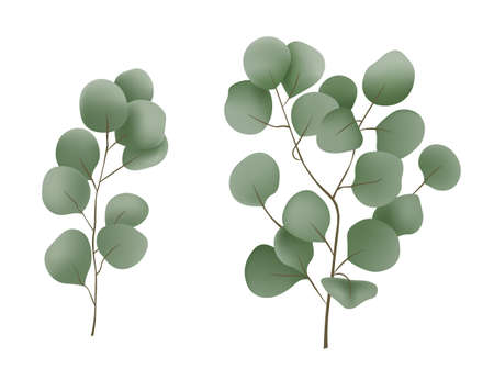 Eucalyptus branch Vector realistic close up isolated Vettoriali