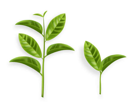 Green tea leaves vector realistic isolated on whites illustration