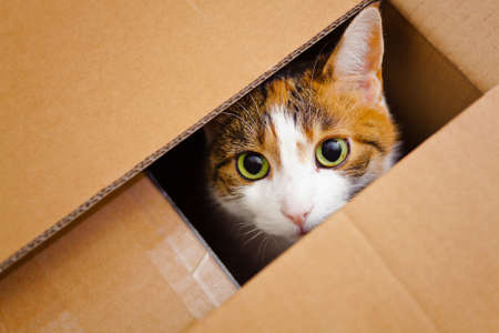 colour box: beautiful European cat in a delivery box