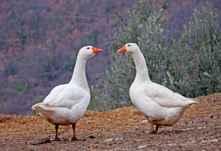 Pair of White Geese Facing Each Other (Anser domesticus)