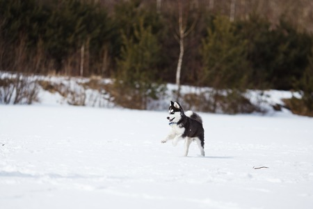 huskies: Husky on a white snow background at winter time Stock Photo