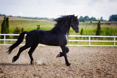 Running frisian horse in the open manege