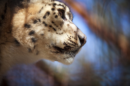 irbis: Close-up portrait of a snow leopard or irbis