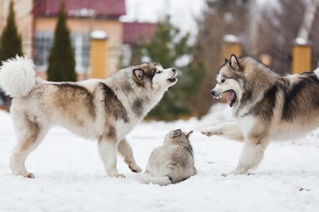 violencia intrafamiliar: Dos perros cr�an malamutes castigan a su cachorro Foto de archivo
