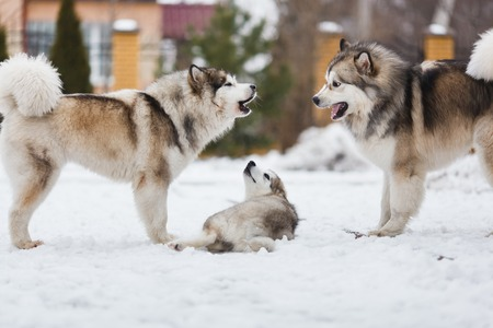 punish: Two dogs breed malamutes punish your puppy Stock Photo