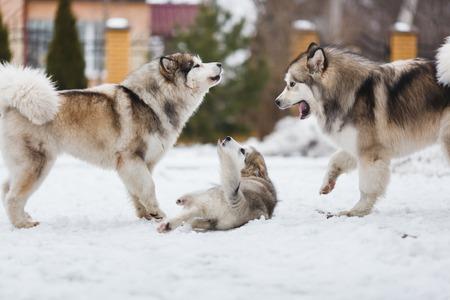 punish: Two dogs breed malamutes punish your puppy Stock Photo
