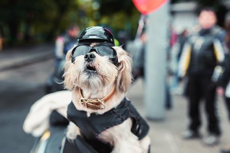 都市の通りにタフなバイク犬 写真素材