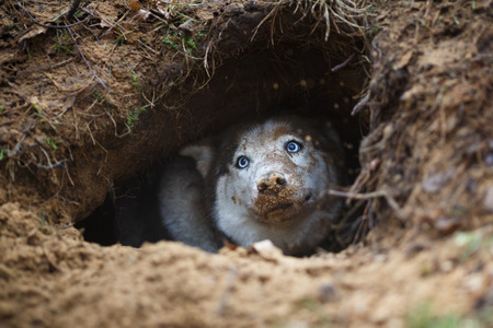 Portrait of funny and dirty husky in a hole