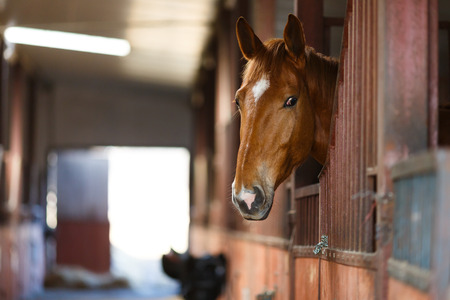 Head of horse looking over the stable doors