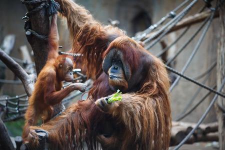 zoologico: Retrato de orangutanes padre y del ni�o en el zool�gico de Leipzig