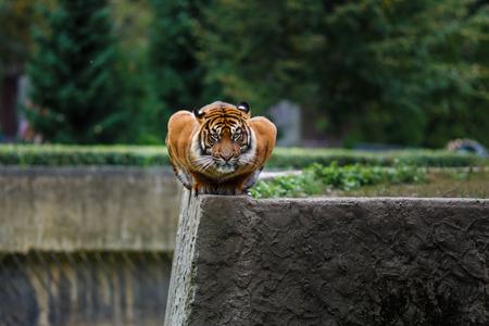 zoologico: Retrato de un tigre sentado en una postura inusual en el borde en el parque zool�gico de Varsovia Foto de archivo