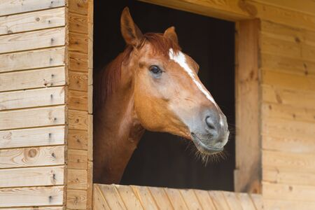 light brown horse: Head of horse looking over the stable doors