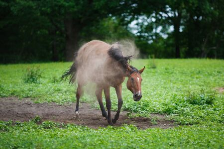 runing: Horse on the meadow in dust at summer time