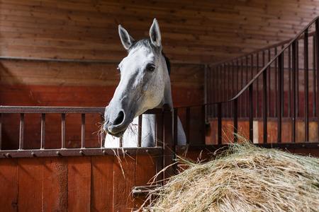 caballo: Caballo blanco comer heno en el establo