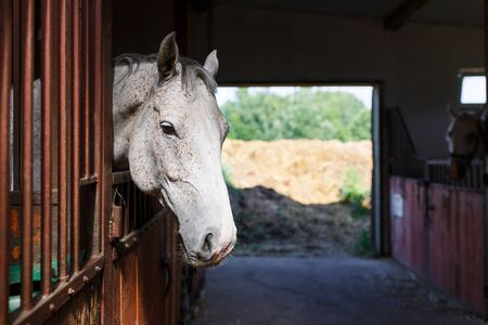 light brown horse: Head of white horse looking over the stable doors