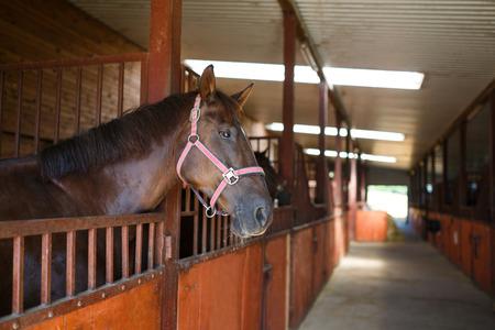 Leiter des Pferdes, der über das Stalltüren Standard-Bild - 43658106