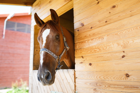 light brown horse: Head of a horse looking over the stable doors