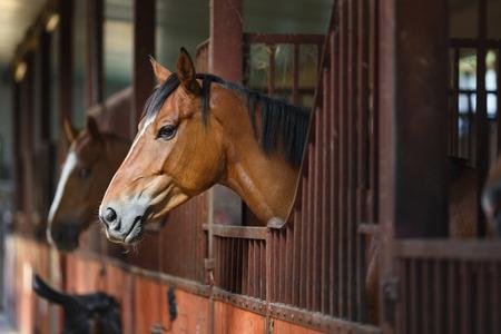 Leiter des Pferdes, der über das Stalltüren Standard-Bild - 43658310