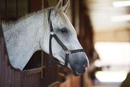 Leiter des Pferdes, der über das Stalltüren Standard-Bild - 43658312