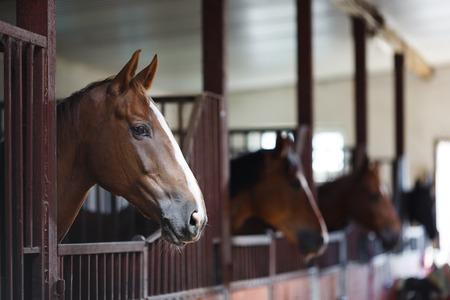 Hoofd van het paard op zoek over de staldeuren op de achtergrond van andere paarden