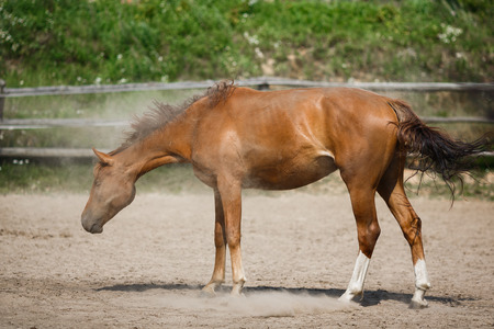 shake off: Young horse shake off the dust in the stable at the summer day