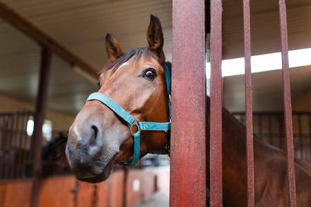 好奇心が強い馬小屋の肖像画