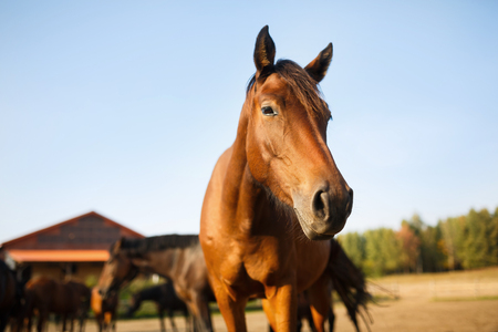 beautiful horse: Portrait of the brown horse in the meadow at autumn time Stock Photo