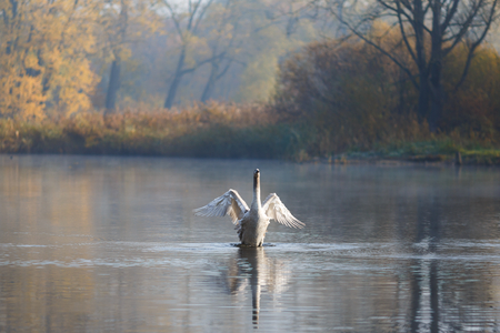 swimming swan: Swan on the lake at autumn time Stock Photo