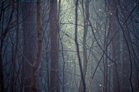arbres silhouette: la lumière mystérieuse dans une forêt à l'heure d'hiver