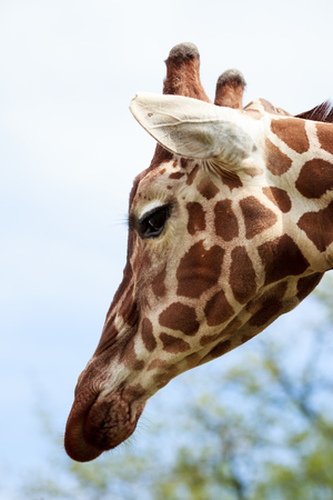 nose close up: Head of giraffe close up in summer Stock Photo
