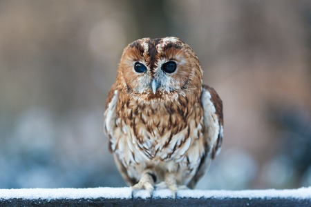 Portrait of little owl at winter time Archivio Fotografico