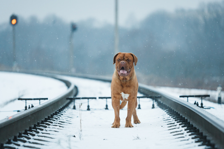 french mastiff: Portrait of Bordeauxdog, is a large French Mastiff breed at winter time