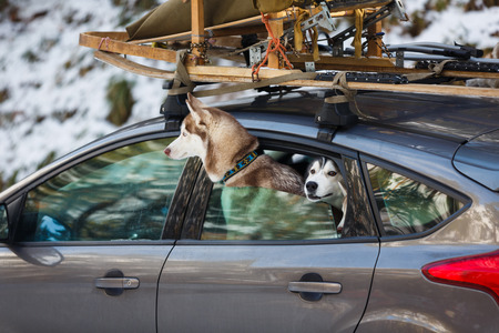 peeking: Husky dogs peeking out of the car